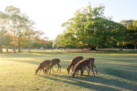 Beautiful nature deer in Nara park. japan travel concept