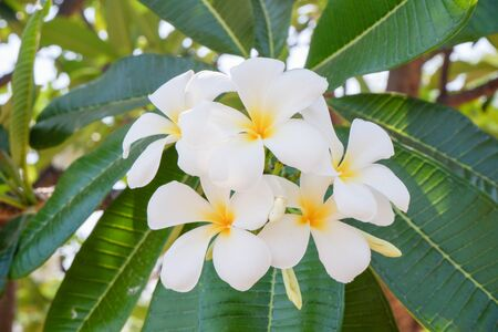 white and yellow frangipani flowers with natural background