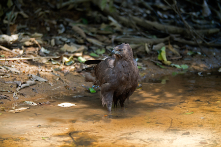 Changeable Hawk Eagle, Crested Hawk Eagle (Spizaetus cirrhatus) at Khao Yai National Park, Thailand