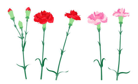 Illustration of red and pink carnations