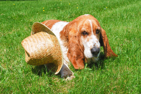 basset: Dog, beautiful basset hound sit or lay down on green grass fileld background and hat in design cowboy is be side.