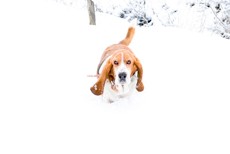 Dog, Basset hound walk on white snow in a winter farm  with background tree without leaf in blurry and white foggy sky, europe in winter season. Winter landscap with animal concept. Stock Photo