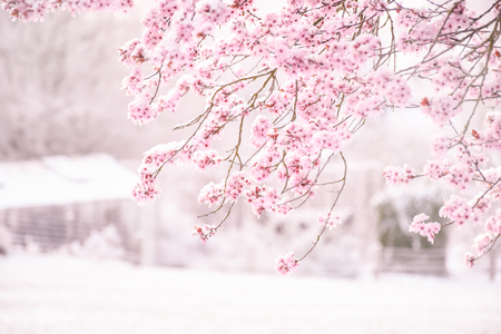 Background soft blur beautiful pink cherry blossom (Sakura) flower cover with snow at full blooming.
