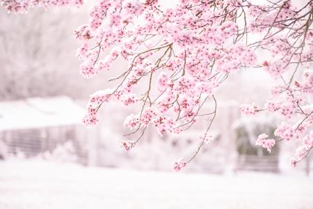 Sfondo sfocato morbido bellissimo fiore di ciliegio rosa (Sakura) copertura floreale con neve in piena fioritura.