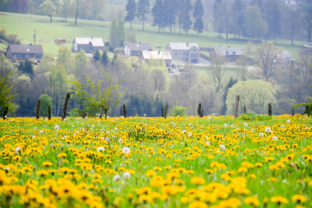 Landscape beautiful nature countryside field of Taraxacum or dandelions flowering. sensitive focus with green filde in spring season, dendelion with yellow flower ,a large genus of flowering plants. Stok Fotoğraf