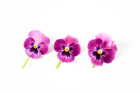 Beautiful petal pansy violet flower in tricolor, white, yellow and violet or purple on White background.