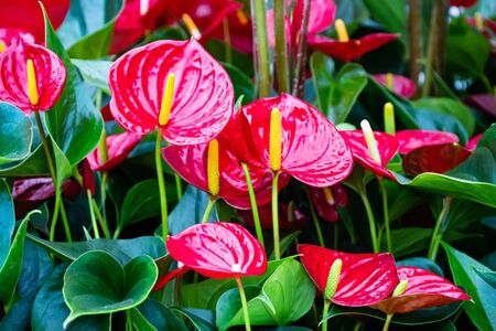 Beautiful brightness red Anthurium andraeanum , flamingo flowers or tailflower, painter's palette, and laceleaf. blossom in garden with bright red spathe and heart shape green leaf. Nature background
