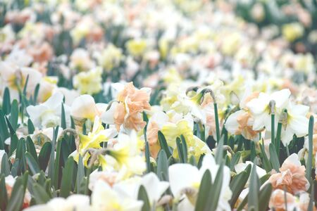 Blur backgroun beautiful field yellow narcissus, spring flower growing in garden nature with yellow petals ,hard yellow pollen and green leaves plant, beautiful season and flower symbol of spring time