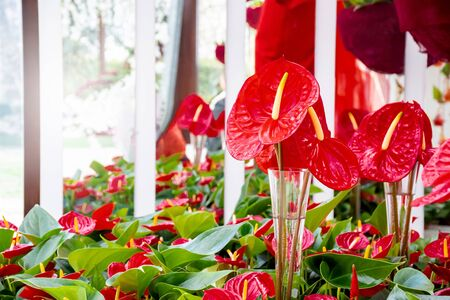 Beautiful brightness red Anthurium andraeanum , flamingo flowers or tailflower, painters palette, and laceleaf. blossom in garden with  bright red spathe and heart shape green leaf. Nature background 版權商用圖片