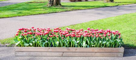 Beautiful colorful tulip flowers growing in wooden sqaure pot with background green field. Landscape spring season concept.