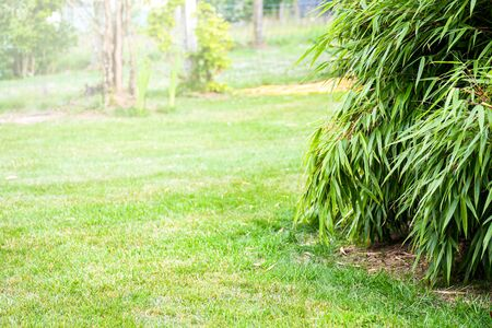 Selective focus bamboo plant growingin summer garden with background greenery grass field with space for text. Nature tropical background