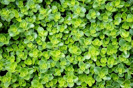 Background small green leaves plant, nature texture concept.