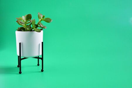 Beautiful succulent or cactus plant in white caramic pot on green background with space for textplant decorate in home. Foto de archivo