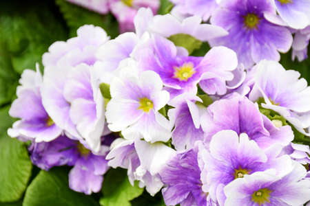 Beautiful freshness primrose violet flower. Early spring primroses flowers, primula polyanthus.
