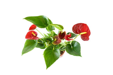 Beautiful brightness red Anthurium andraeanum , Red spathe and heart shape green leaf, flamingo flowers or tailflower, painter's palette and laceleaf blossom and grow in pink pot white background.