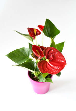 Beautiful brightness red Anthurium andraeanum , Red spathe and heart shape green leaf, flamingo flowers or tailflower, painter's palette and laceleaf blossom and grow in pink pot white background. Stock Photo