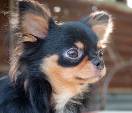 chihuahua: cute black chihuahua portrait Stock Photo