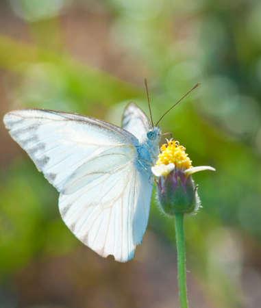 arthropoda: white butterfly feeding on a yellow flower in summer garden