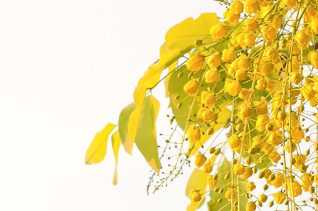 flowers of golden shower tree isolated on white background photo
