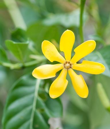golden gardenia flower photo