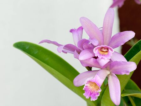 thai orchid: beautiful purple orchid in the garden