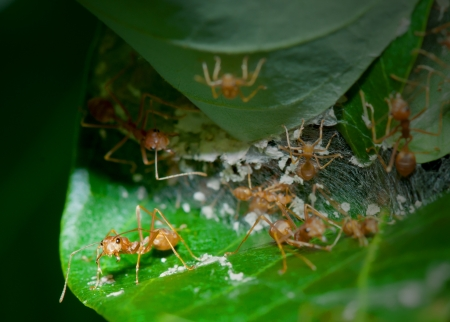 group of red ants in the nest photo