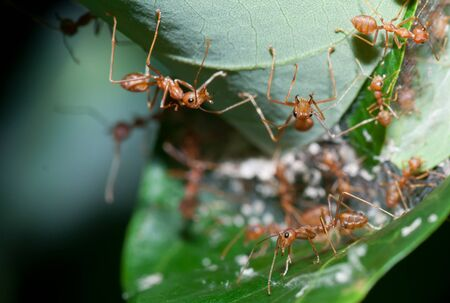 ant leaf: grupo de hormigas rojas en el nido