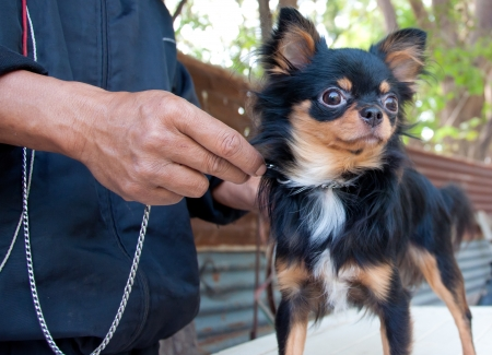 long hair chihuahua ready for training photo