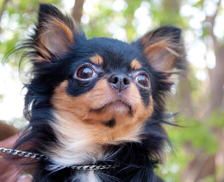 brown and black dog face: long hair chihuahua in the park