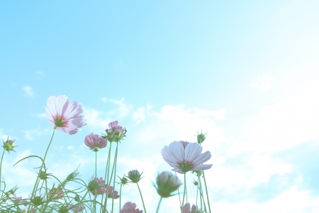 cosmos flowers: cosmos flowers with blue sky, pastel style