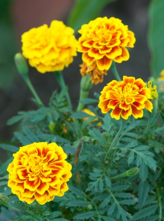 garden marigold: marigold flowers in the garden