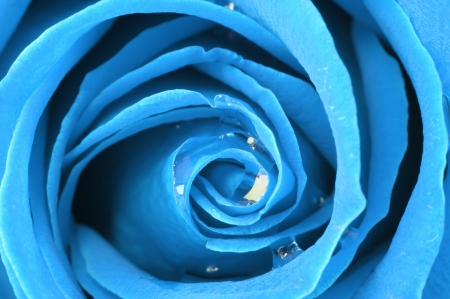 blue rose: abstract of blue rose pattern, macro shot