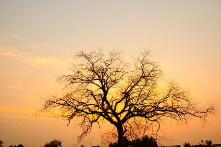 arboles secos: puesta del sol con el árbol muerto, silueta tiro