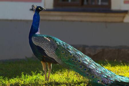 pavo: Pavo with a long tail Stock Photo