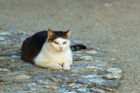 felid: A resting cat with yellow eyes Stock Photo