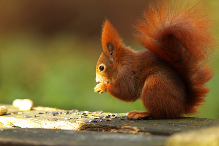 gingery: Gingery gnawer eating nuts