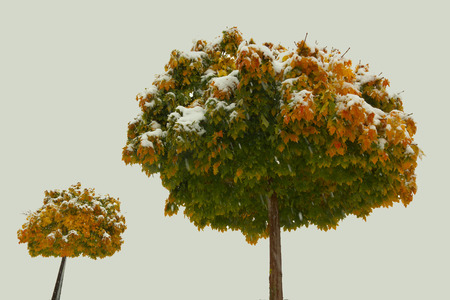 A maple with colored leaves covered with snow