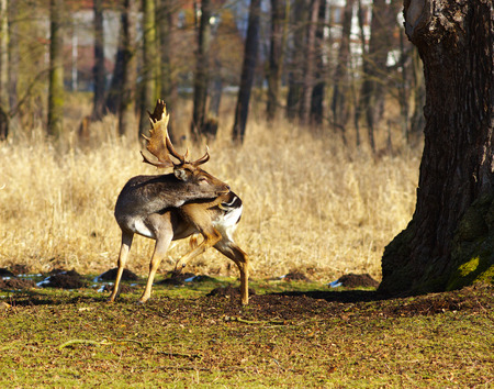 A male of fallow deer with turned head to its back