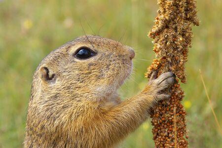 profile: Eating Ground Squirrel