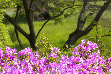 Viloin flowers of  Rhododendron with a meadow and branches on background