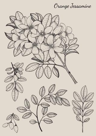 jessamine: Arancione Jessamine fiori di disegno a mano Vettoriali