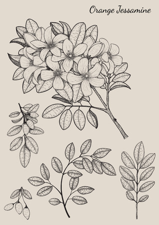 Orange Jessamine flowers by hand drawing