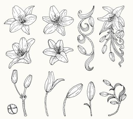 Lily vecteur de fleurs à la main fleur drawing.Lily ensemble.