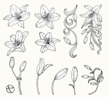 Lily flower vector by hand drawing.Lily flower set.