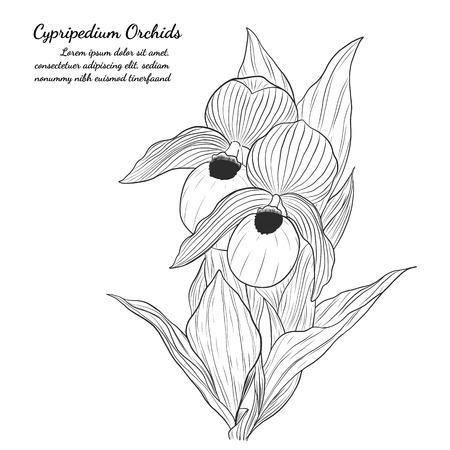 手描きでアツモリソウ ラン。白い背景の上の蘭のベクトル。