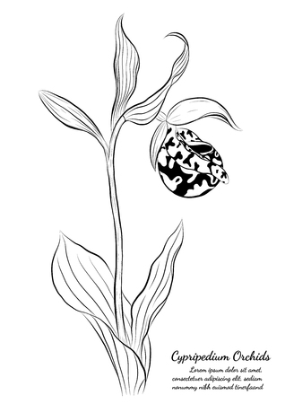 Cypripedium orchids by hand drawing.Orchids vector on white background. Illustration
