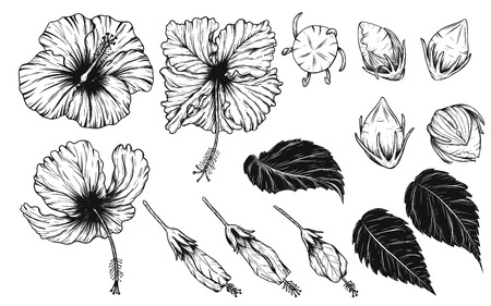 Hibiscus flower vector set by hand drawing.