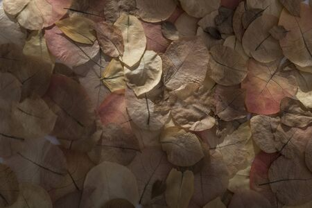Still life of dried bougainvillea petals. Dried petals distributed with different forms of lighting. Ideal for wallpapers. Backlight, transparency.