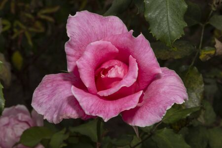 Mixed rose, multi-colored rose