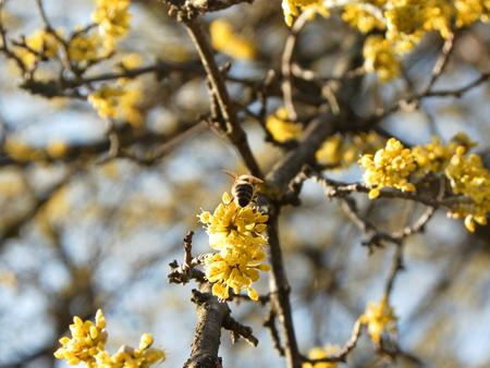 goldy: Bee Pollinating european cornel